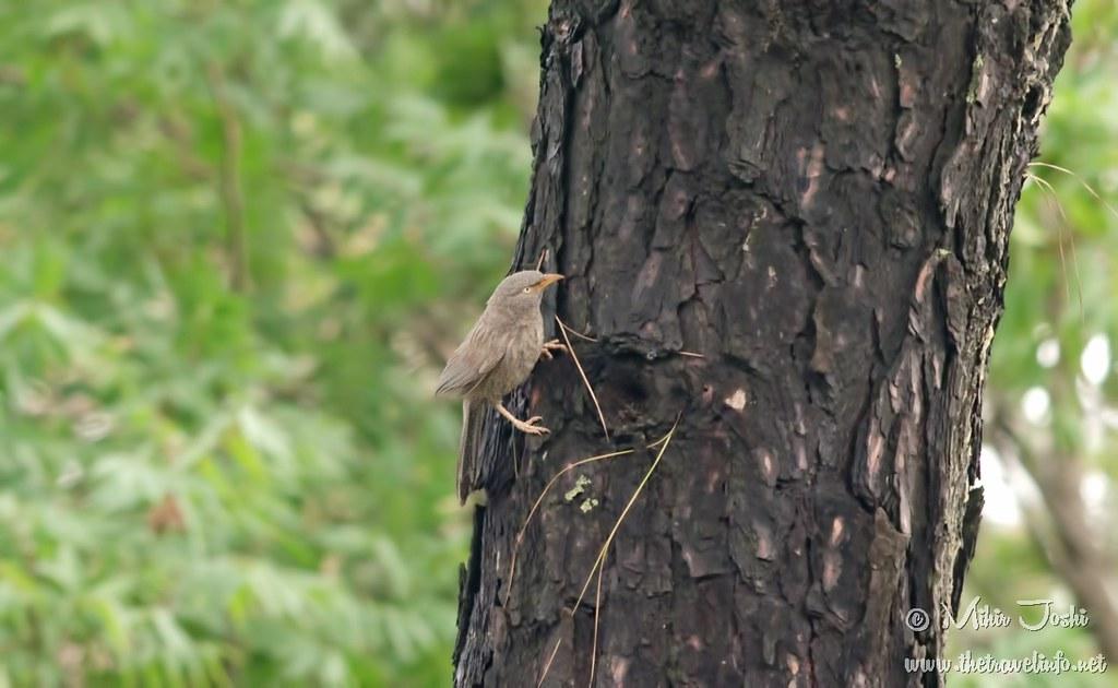 Jungle Babbler [Turdoide Matorralero]