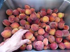 starr-160408-0714-Prunus_persica_var_persica-fruit_harvest-Hawea_Pl_Olinda-Maui