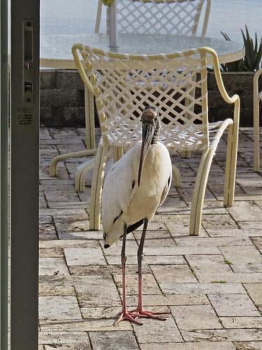 Wood Stork through the screen 2-20141221