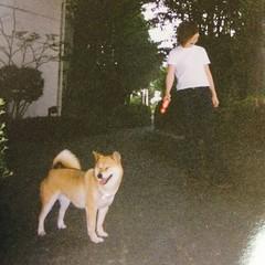 animal, akita, dog, shiba inu, pet, mammal,