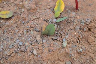 Oxalis monophylla   オキザリス モノフィラ