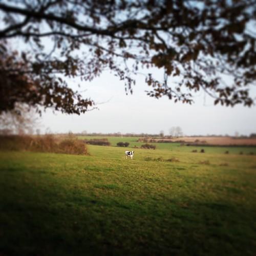 Une vache au loin