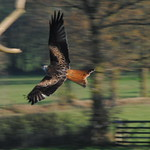 Red Kite - Low Pass
