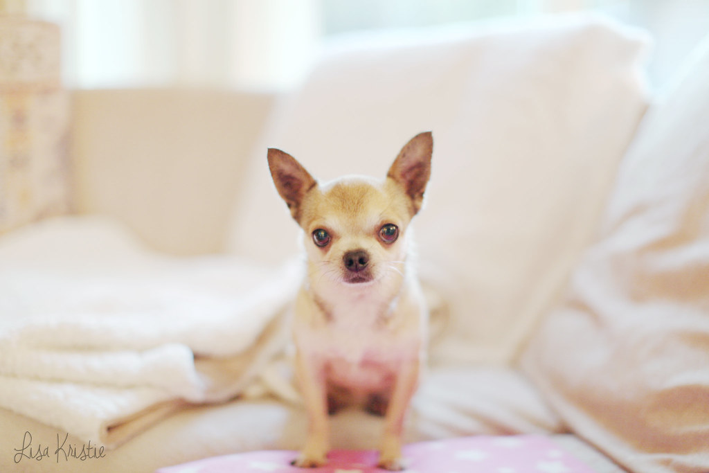 wolfthedog chihuahua portrait male adult breeder smooth coat short haired tan cream brown white black cute adorable tiny small dog breed canon 5D Markii home sofa pink fleece blanket big ears
