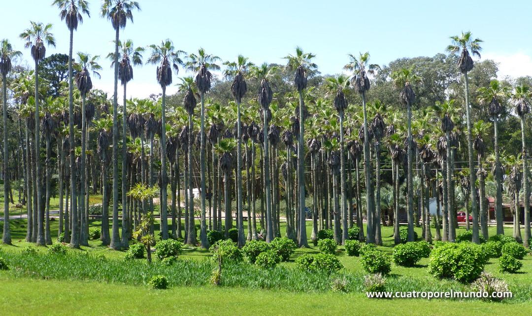 Bosquecillo de palmeras en Parque Nacional Santa Teresa