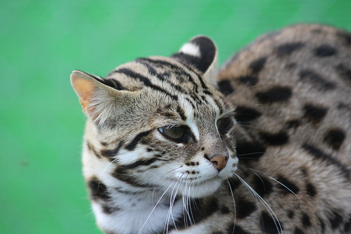 "Le beau TUTU, un mâle ALC ""Asian leopard cat"" 2014"