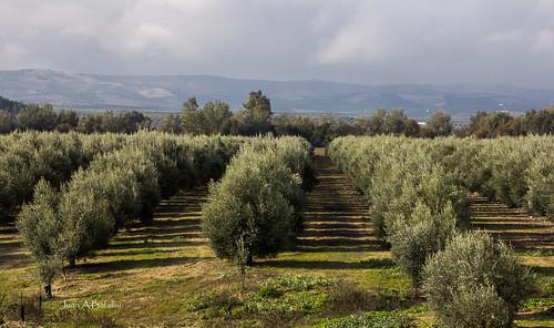 Paisaje de Olivos en La Maturra