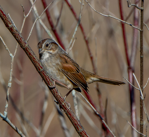 swampsparrow sparrow melospizageorgiana bird melospiza bonniecoatesott
