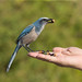 Endangered Florida Scrub Jay by naturethroughmyeyes.com