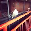 Resident pigeon.