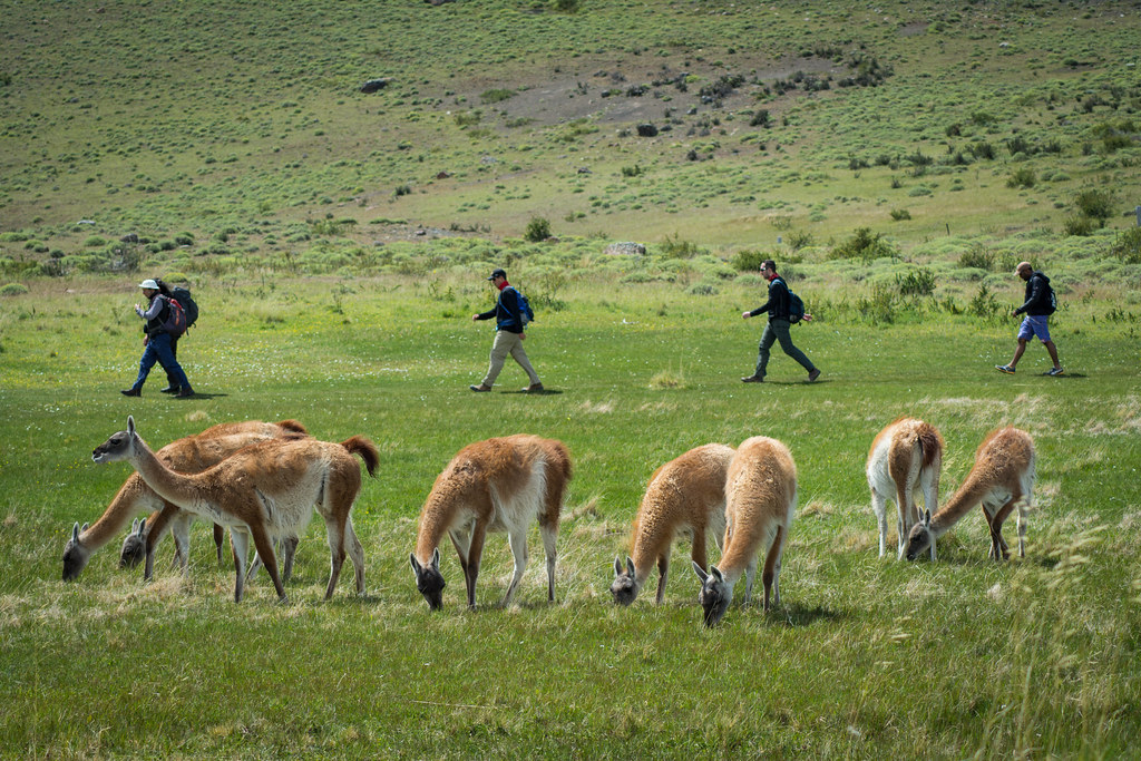 A group of quiet guanacos in the pampa