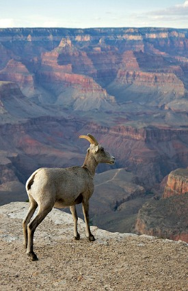 Big Horn Sheep at the Grand Canyon