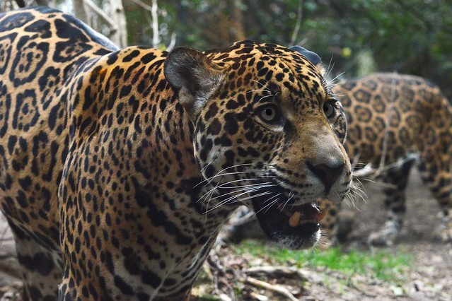 Jaguar Grin