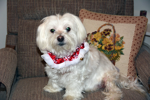 Picture Of Lucky The Maltese Dog Posing For One Of His Annual Christmas Day Photos. Photo Taken Thursday December 25, 2014