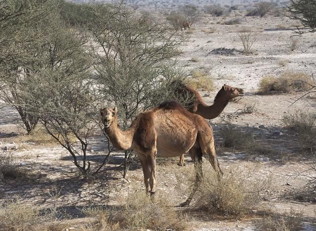 Südiran: Kamele
