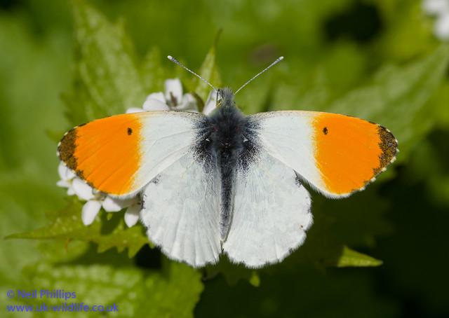 orange tip male