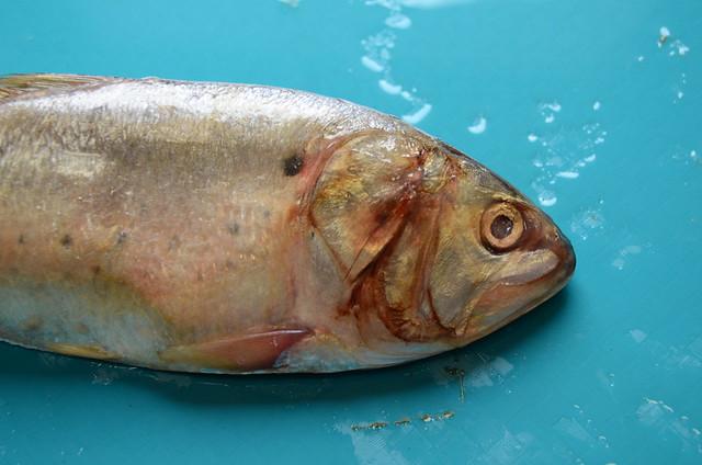Menhaden definition meaning for Menhaden fish meal