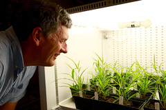 Dr. Andrew Doust observes samples of millet grasses, one of several grains he will study as part of a new $400,000 NSF grant.