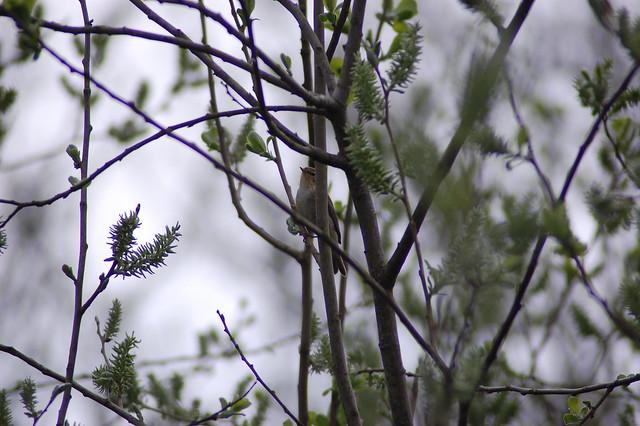 Reed Warbler - 1