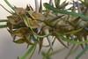 Euphorbia rossi, Madagascar