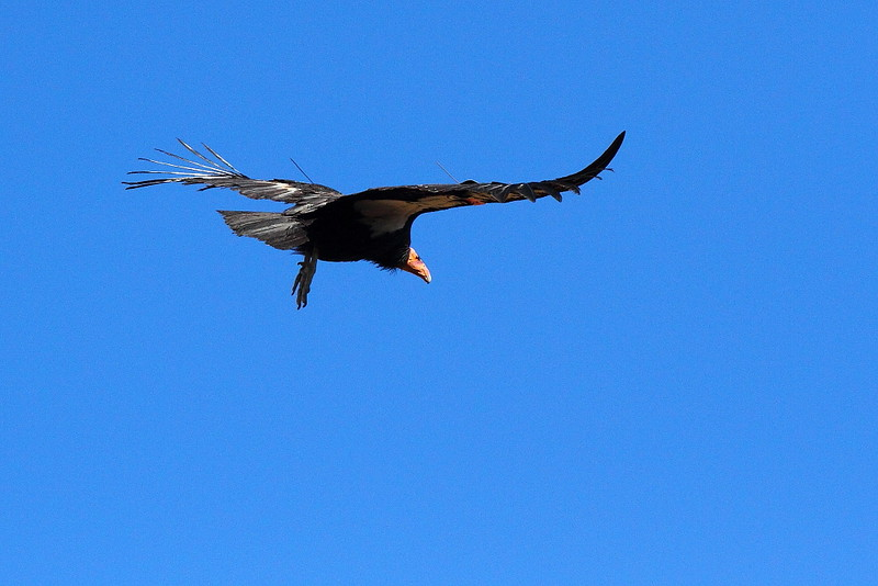 IMG_8319 California Condor #453, Grand Canyon National Park