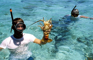 Diver with female lobster - Key West