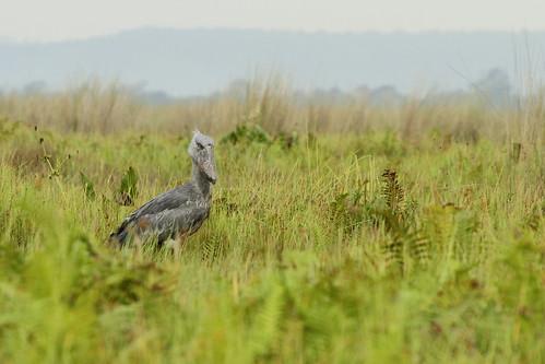africa uganda lakevictoria shoebill eastafrica 2014 entebbe