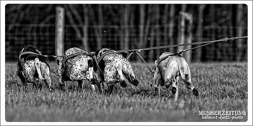 Schlittenhunde DM (Off-snow), Bielefeld - Hundeärsche