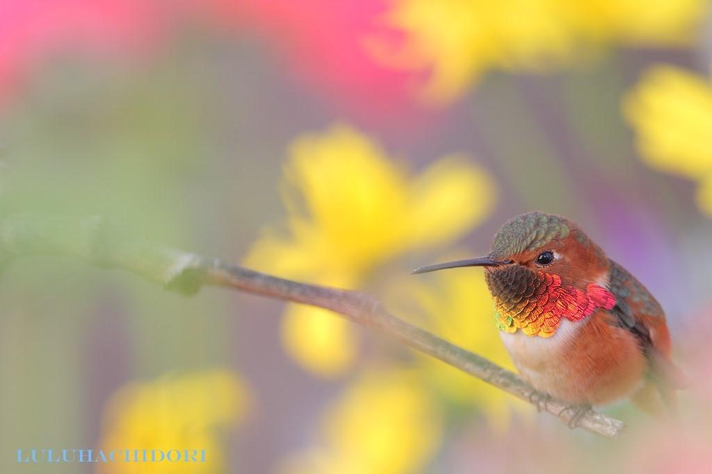 Allen's-Hummingbird-111714