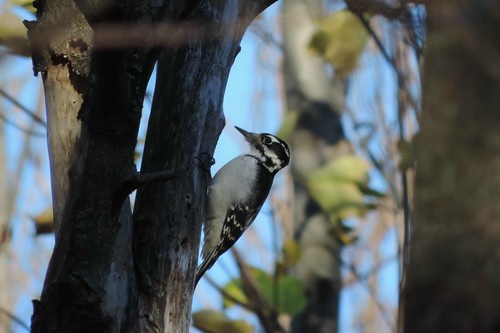 #107 Hairy Woodpecker (Picoides villosus)