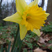 December Daffodil, Tower Hamlets Cemetery Park