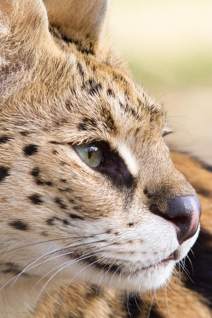 Serval Side