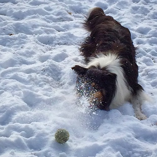 A little powder #jasper #Sheltie