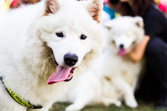 dog breed, animal, dog, japanese spitz, pet, white shepherd, mammal, berger blanc suisse, kishu, korean jindo dog, samoyed,
