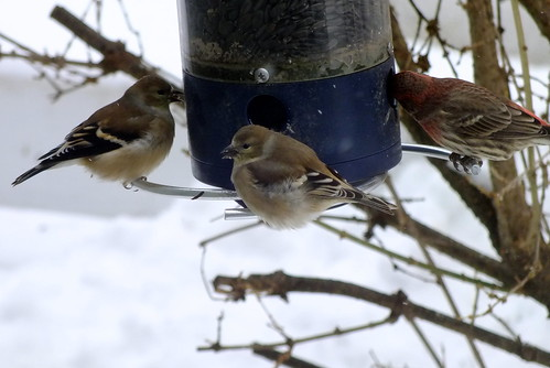golden american finches