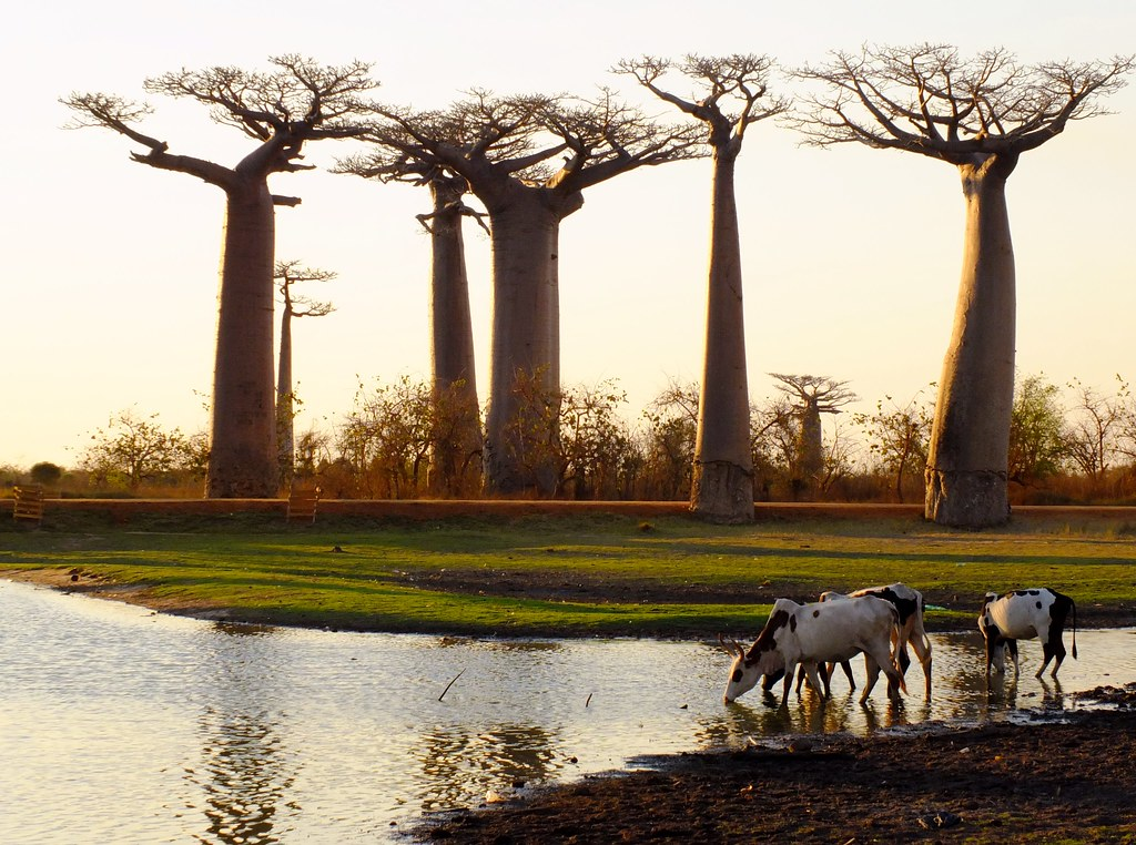 Zebu Drinking at Sunset at Avenue of the Baobabs