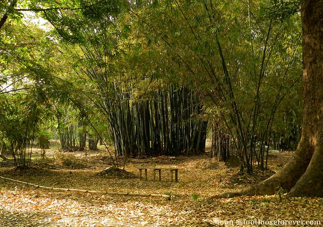 Bamboo Orchards - Shibpur Botanical Garden #kolkata