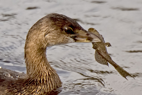 Florida: Pied-billed Grebe with Lunch