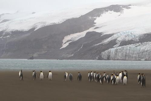 ocean nature birds outdoors penguins indianocean windy glacier sandstorm southernocean seabirds kingpenguin aptenodytespatagonicus heardisland corinthianbay heardislandexpedition