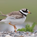 Ringed Plover - Charadrius hiaticula by rosebudl1959