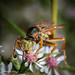 Polistes Wasp on flower