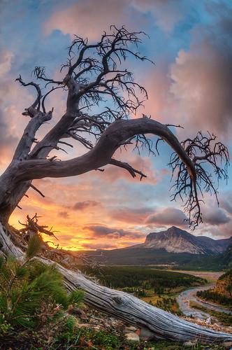 Ugly Dead Tree - Glacier National Park