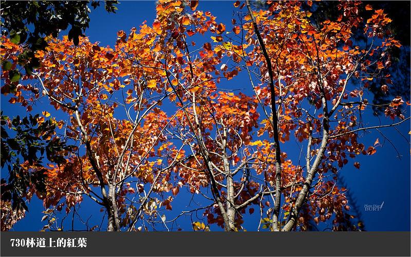730林道上的紅葉