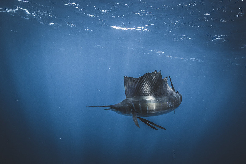 SAILFISH_GOH-4