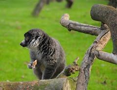 animal, pet, primate, fauna, lemur, wildlife,