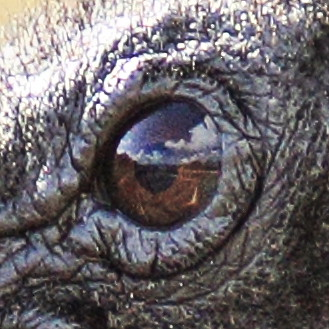 Black Vulture eye 2-20141117
