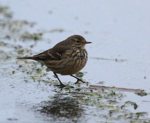 ohio birds aves documentation americanpipit holmescounty killbuckmarsh ebird