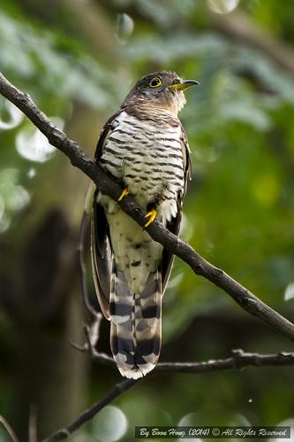 cuckoo cuculusmicropterus indiancuckoo singaporebird nikond7100 tamron150600mm