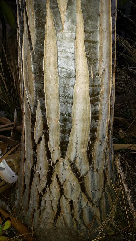Aloe Hercules Trunk