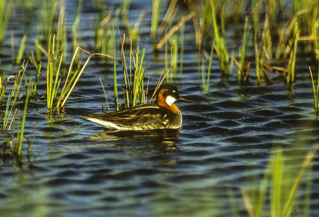 Red-necked Phalarope - Churchill - Canadà_Image3